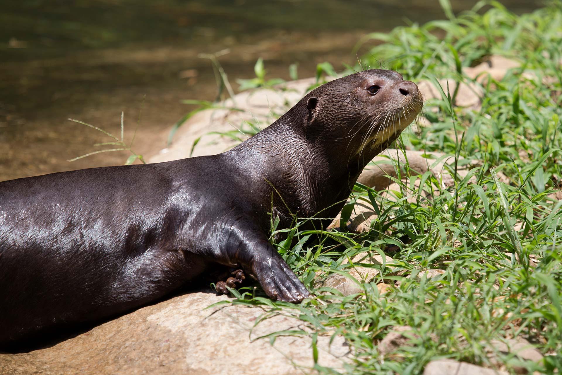 giant otter zoo atlanta